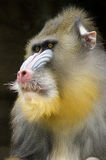 Mandrill. Portrait view of an adult male mandrill. Mandrillus sphinx is a primate of the Old World monkey with olive green and dark gray pelage, yellow bands Stock Images