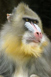 Mandrill. Portrait view of an adult male mandrill. Mandrillus sphinx is a primate of the Old World monkey with olive green and dark gray pelage, yellow bands Royalty Free Stock Photos