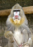 Mandrill. Portrait view of an adult male mandrill sitting. Mandrillus sphinx is a primate of the Old World monkey with olive green and dark gray pelage, yellow Royalty Free Stock Photography