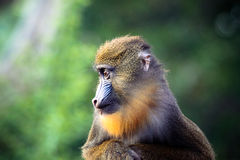 Mandrill profile Stock Image