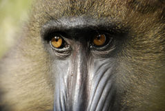 Mandrill's Face Stock Photography
