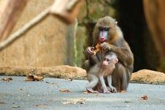 Mandrill Schätzchen mit seiner Muttergesellschaft Stockfotos