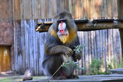 The mandrill sits on the wooden platform. stock photos