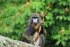 Mandrill. The mandrill sitting on the rock with the stick in his hand Royalty Free Stock Images