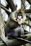Mandrill sitting on tree branch royalty free stock image