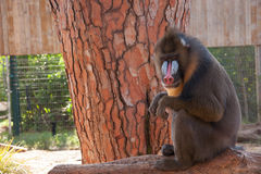 Mandrill sitting in a tree at the zoo. Mandrill in a safari in Israel Stock Image