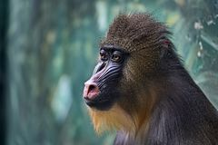 Mandrill or Sphinx Mandrillus sphinx. Mandrills mostly live in tropical rainforests. Color mandrills — one of the brightest. And most colorful among royalty free stock images