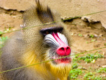 Mandrill staring Royalty Free Stock Image