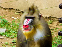 Mandrill staring. An old male mandrill staring across the barbed wire at Shanghai wild animal park China Royalty Free Stock Image