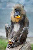 Mandrill VII. Frontal Portrait of a Female Mandrill on a Mottled Blue Background royalty free stock image