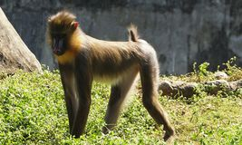 A mandrill walking in the zoo! stock images