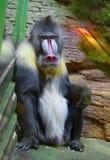 Mandrill (Baboon) Royalty Free Stock Photo