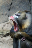 Mandrill Yawning Royalty Free Stock Image