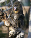 mandrill4957 Fotografia Royalty Free