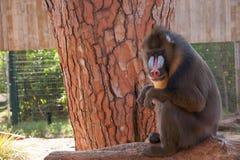 Mandrillsammanträde i ett träd på zoo Fotografering för Bildbyråer