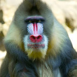 mandrillus狮身人面象 库存照片