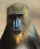 Mandrillus Baboon. Portrait of a Mandrillus (Baboon Stock Photo