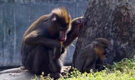 Mandryl i jej dziecko w zoo! Zdjęcia Stock