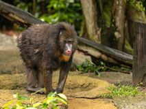 Mandryl małpa, Mandrillus sfinks, stoi outdoors w zoo obraz royalty free