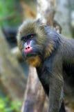 Mandryl Małpia samiec Zdjęcie Royalty Free