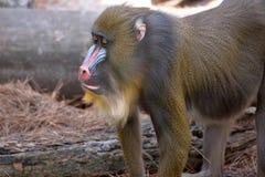 Mandryl małpy profil Zdjęcia Stock