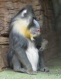 Mandryl (Mandrillus sfinks) Zdjęcia Royalty Free