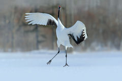 Mandschurenkranich, Grus japonensis, fliegender weißer Vogel mit offenem Flügel, mit Schneesturm, Winterszene, Hokkaido, Japan lizenzfreies stockfoto
