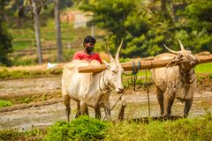 MANDYA,KARNATAKA,INDIA - AUGUST 29,2017: Here farmer ploughing royalty free stock image