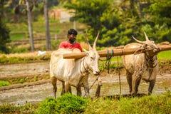 MANDYA, KARNATAKA, INDIEN - AUGUST 29,2017: Während ehemaligen werfenden ` s Paddy der Bearbeitungszeit in ein anderes Feld lizenzfreies stockbild
