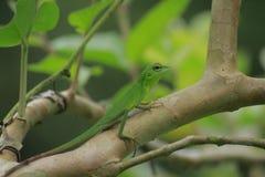 Mane chameleon Bronchocela jubata in the tropical forests of Indonesia. Mane chameleon Bronchocela jubata in the tropical forests of Aceh Province, Indonesia royalty free stock photos