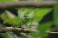 Mane chameleon Bronchocela jubata in the tropical forests of Indonesia. Mane chameleon Bronchocela jubata in the tropical forests of Aceh Province, Indonesia stock photography