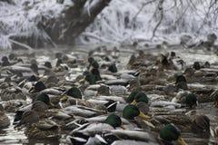 Mane ducks in winter pond water. Mallard ducks in winter pond in water Stock Photography