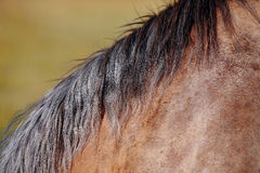 Mane of the horse Stock Photography