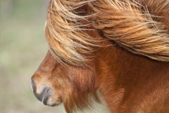 Mane and jowl. Face oa a small pony in France, on a sunny and blowy day stock photo