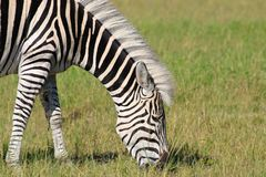Mane Zebra branco, Zimbabwe, parque nacional de Hwange Fotografia de Stock Royalty Free
