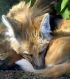 Maned λύκος 2 Στοκ Φωτογραφία