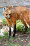 Maned λύκος Στοκ Εικόνα