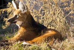 maned λύκος Στοκ φωτογραφία με δικαίωμα ελεύθερης χρήσης