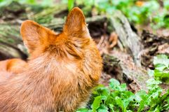 maned λύκος Στοκ Εικόνες