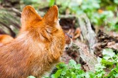 maned λύκος Στοκ εικόνα με δικαίωμα ελεύθερης χρήσης