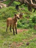maned λύκος Στοκ εικόνες με δικαίωμα ελεύθερης χρήσης
