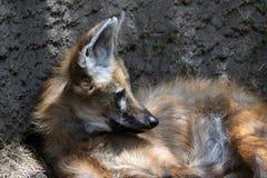 maned волк Стоковое фото RF