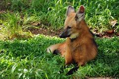 maned волк Стоковые Фотографии RF