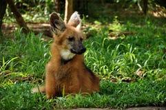 maned волк Стоковые Изображения RF
