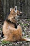 maned волк Стоковое Изображение