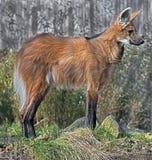 maned волк Стоковые Фото