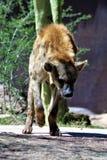 maned волк Стоковая Фотография