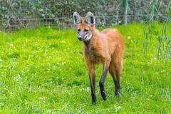 Maned волк (brachyurus Chrysocyon) Стоковые Фотографии RF