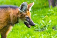 Maned волк (brachyurus Chrysocyon) Стоковое Изображение