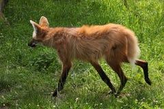 Maned волк (brachyurus Chrysocyon) Стоковое Изображение RF